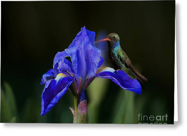 Hummingbird On A Mexican Blue Exotic Flower Greeting Card by John  Kolenberg