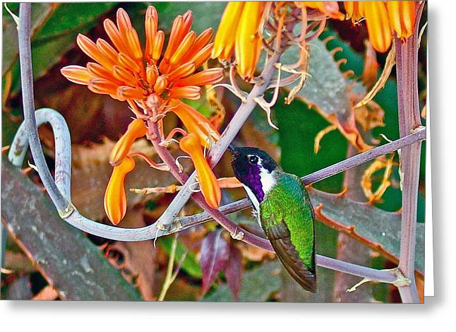 Greeting Card featuring the photograph Hummingbird On Aloe In Living Desert In Palm Desert-california by Ruth Hager