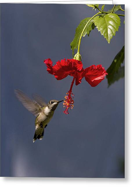 Hummingbird On Hibiscus Greeting Card