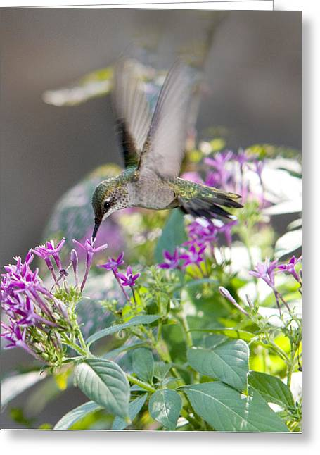 Hummingbird On Penta Greeting Card