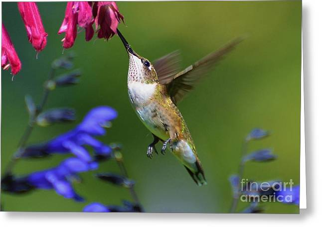 Greeting Card featuring the photograph Hummingbird On Wendy's Wish Flower by Kathy Baccari