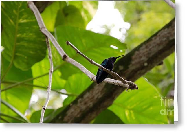 Hummingbird Out On A Limb Greeting Card