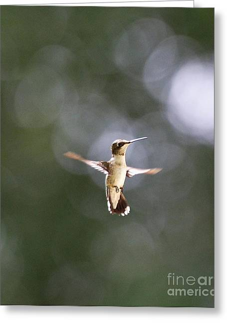 Hummingbird Pauses Erect Misty Light Greeting Card by Wayne Nielsen