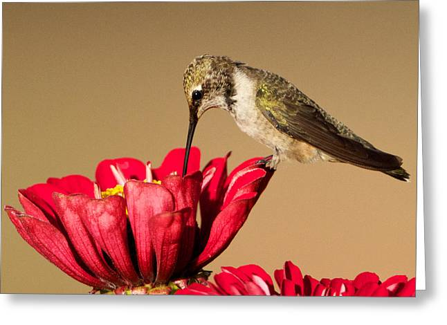 Hummingbird Perched On A Zinnia Greeting Card