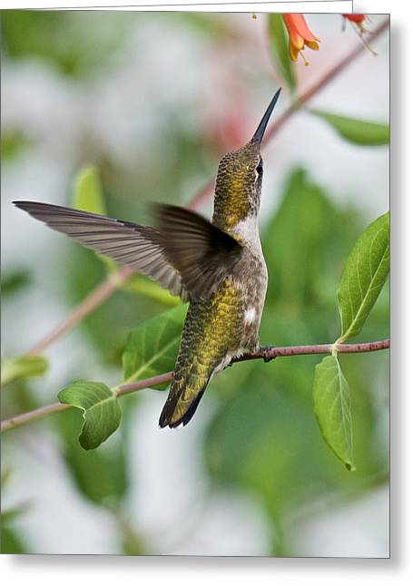 Hummingbird Reaching For The Blossoms Greeting Card