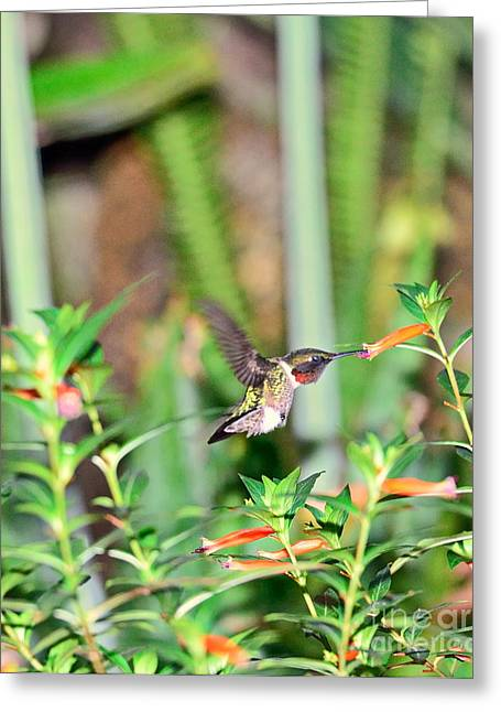 Hummingbird Ruby Throat At Cigar Orange Greeting Card by Wayne Nielsen