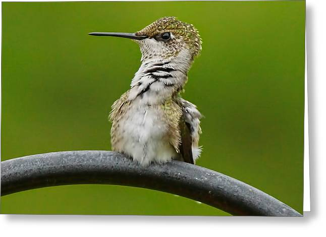 Hummingbird Stretching  Greeting Card by Alan Hutchins