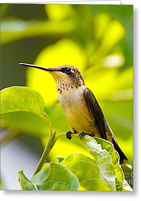 Hummingbird Greeting Card by Stuart Mcdaniel