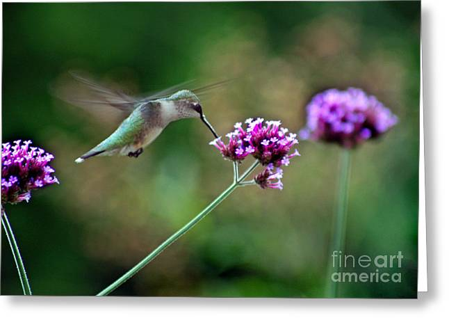 Hummingbird With Purple Verbena Greeting Card