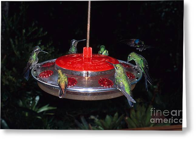 Hummingbirds At Feeder Greeting Card by Gregory G. Dimijian, M.D.