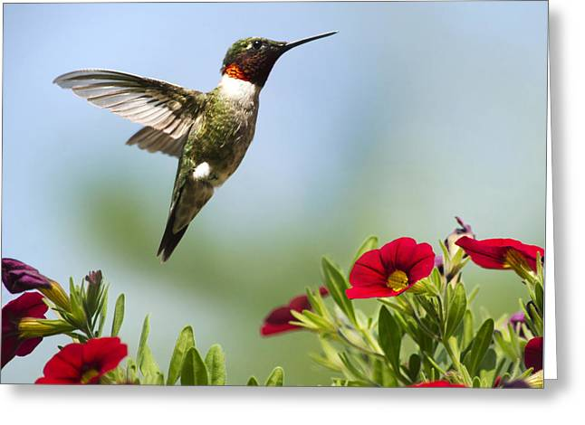 Hummingbirds Frolic Square Greeting Card by Christina Rollo