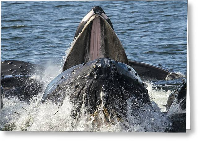Humpback Feeding Close-up Greeting Card by Lisa Hufnagel