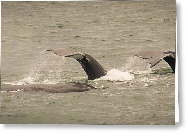 Greeting Card featuring the photograph Humpback Flukes by Janis Knight