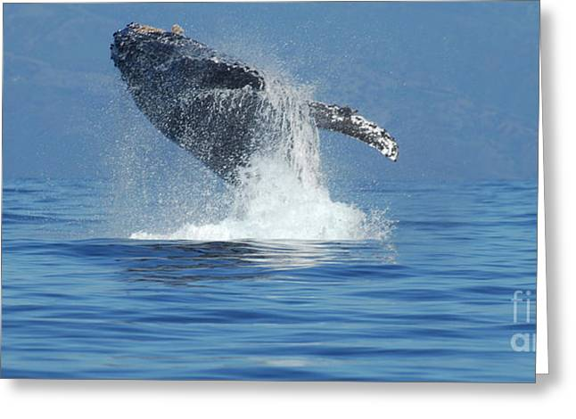 Whale Photographs Greeting Cards - Humpback Whale Breaching Greeting Card by Bob Christopher