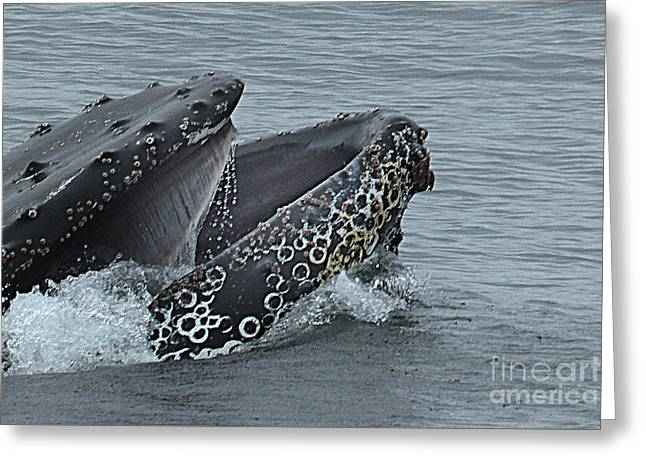Greeting Card featuring the photograph Humpback Whale  Lunge Feeding 2013 In Monterey Bay by California Views Mr Pat Hathaway Archives