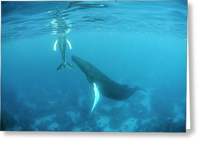 Humpback Whale Mother And Calf Greeting Card