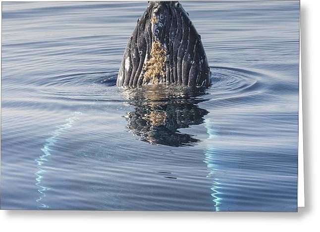 Humpback Whale Spyhopping Maui Hawaii Greeting Card by Flip  Nicklin