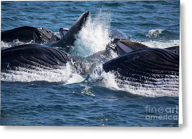 Humpback Whales Feeding Greeting Card