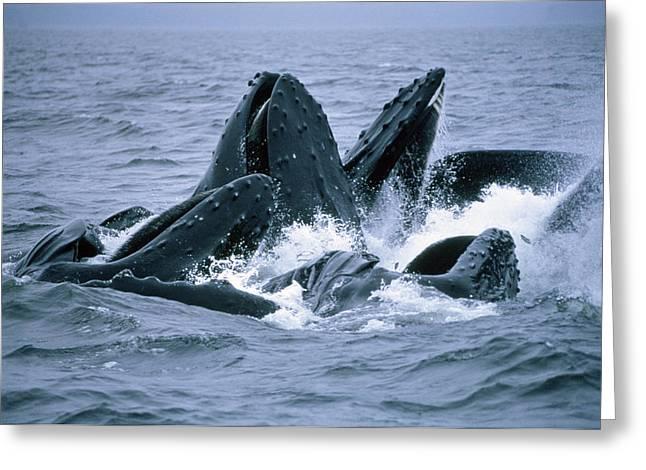 Humpback Whales Gulp Feeding On Herring Greeting Card