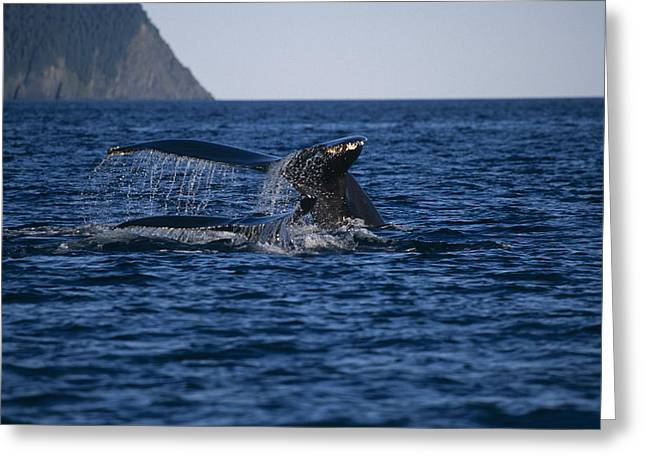 Humpback Whales Swimming On Surface Greeting Card by John Mahan