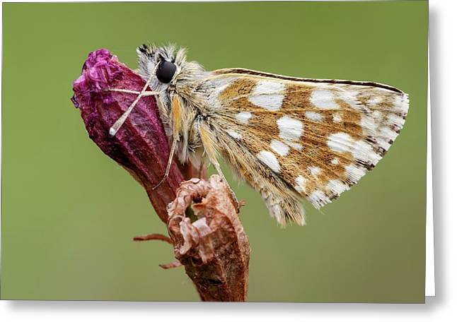 Hungarian Skipper Butterfly Greeting Card by Heath Mcdonald