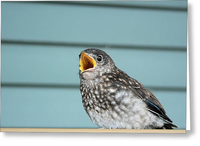 Hungry Baby Bluebird  Greeting Card