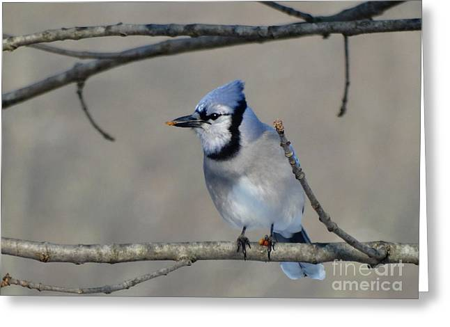 Hungry Blue Jay Greeting Card