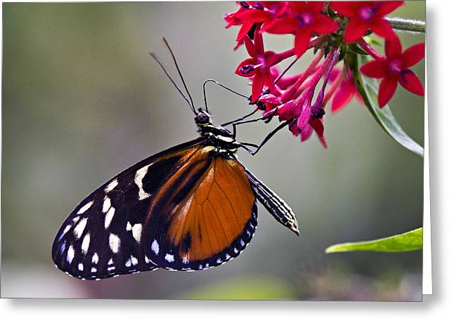 Hungry Butterfly Greeting Card