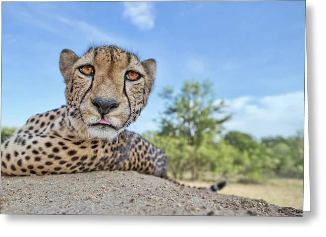 Hungry Cheetah Greeting Card
