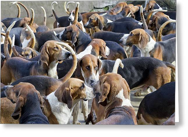 Hunter Hounds Dogs Background Greeting Card