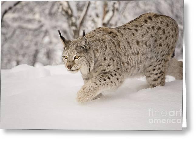 Hunting Lynx Greeting Card