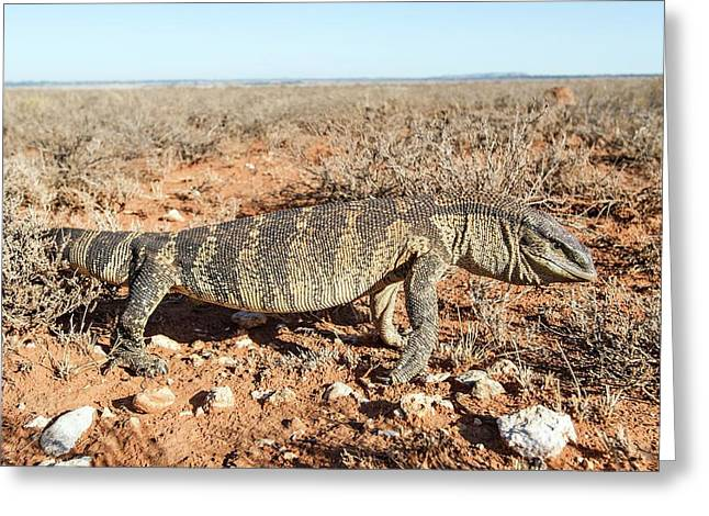 Hunting Rock Monitor Lizard Greeting Card by Peter Chadwick