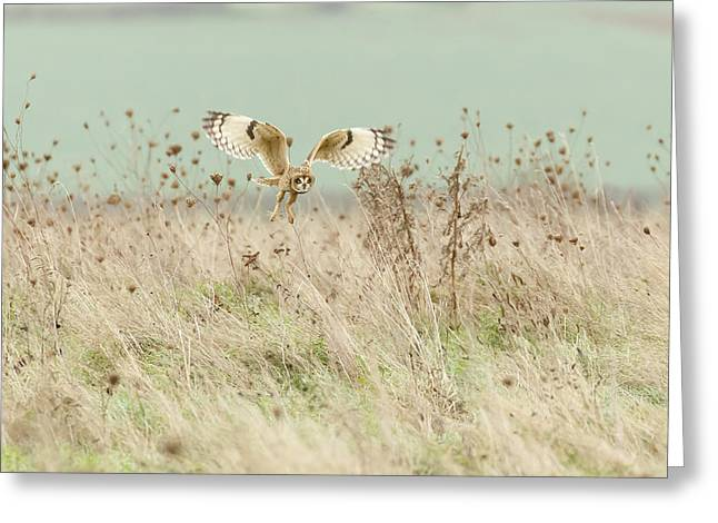 Hunting Short Eared Owl Greeting Card