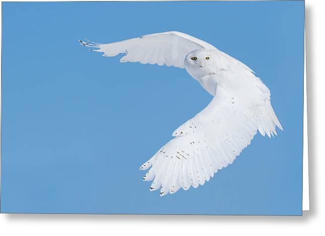 Hunting Snowy Owl Greeting Card by Mircea Costina