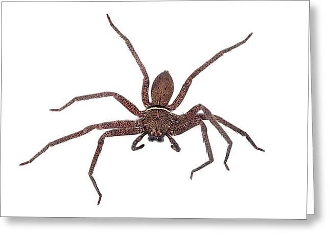 Huntsman Spider Greeting Card by Alex Hyde
