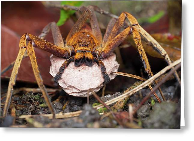 Huntsman Spider Carrying Egg Sac Greeting Card by Melvyn Yeo