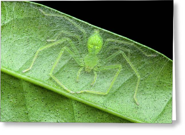 Huntsman Spider In Nest Greeting Card by Melvyn Yeo
