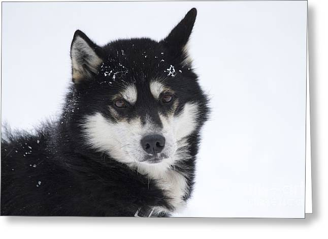 Husky Dog Breading Centre Greeting Card