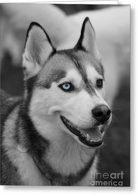 Husky Portrait Greeting Card by Vicki Spindler
