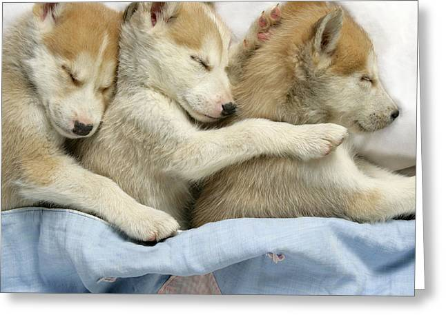 Husky Puppies Asleep In Bed Greeting Card by John Daniels