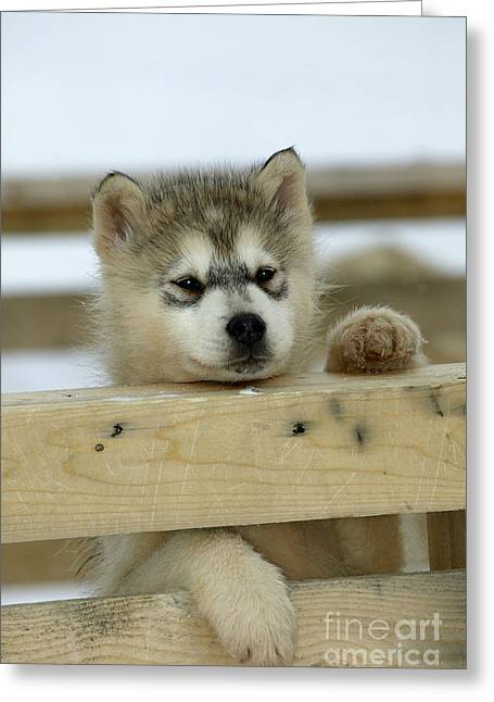 Husky Puppy Dog Greeting Card by M. Watson
