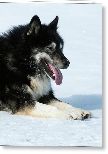 Husky Sled Dog Leader Greeting Card