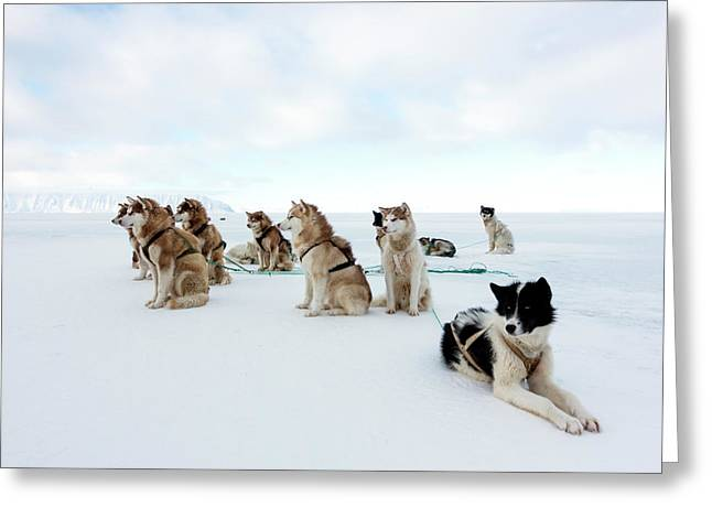 Husky Sled Dogs Greeting Card