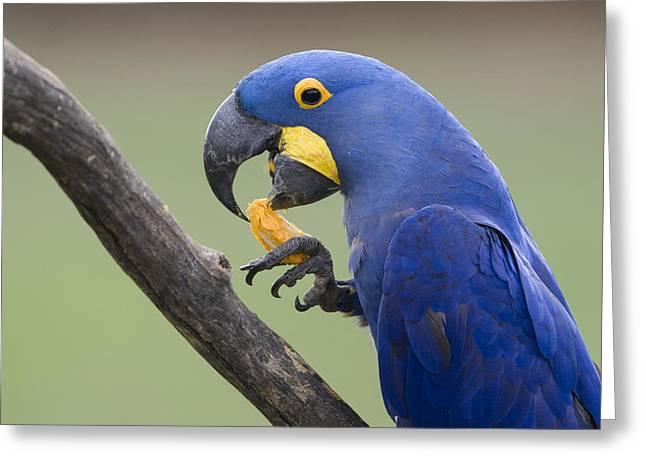 Hyacinth Macaw Feeding On Palm Nut Greeting Card