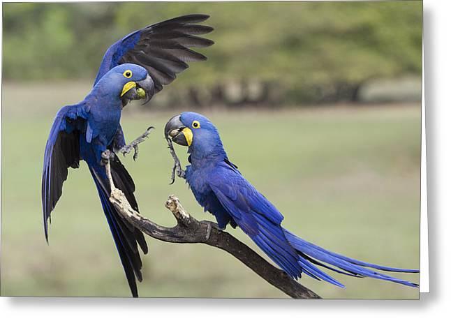 Hyacinth Macaw Pair Fighting Pantanal Greeting Card