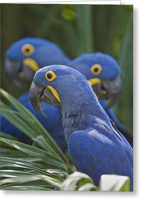 Hyacinth Macaws Anodorhynchus Greeting Card