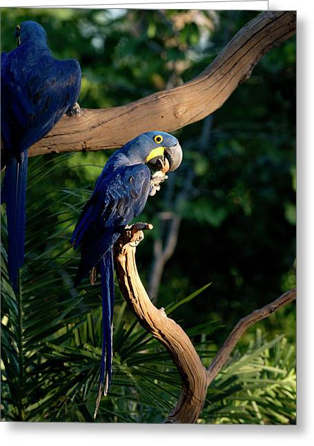Hyacinth Macaws Gather And Eat Nuts Greeting Card by Jan and Stoney Edwards