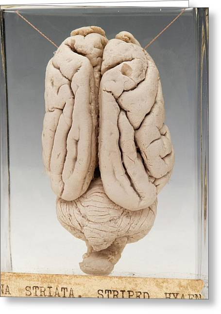 Hyaena Brain Greeting Card by Ucl, Grant Museum Of Zoology