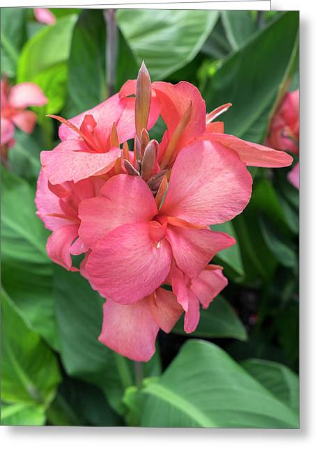 Hybrid Cana Lily, Usa Greeting Card