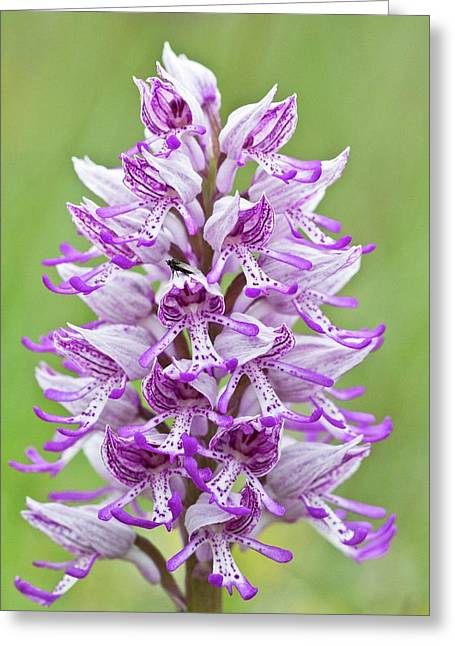 Hybrid Orchid (orchis Militaris X Simia) Greeting Card by Bob Gibbons